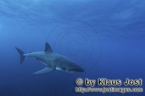 Great White shark/Carcharodon carcharias        Baby Great White Shark in the vast ocean         Si