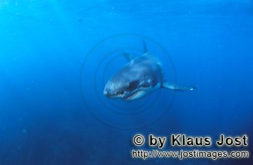 Weißer Hai/Great White shark/Carcharodon carchariasBaby Great White Shark Six sea miles from the coast of Gansbaai, quite close to Dyer Island and Gyser Rock, a Great White Shark only a few days old is seen moving close to the water surface. Great White Sharks are fully developed after birth – at this point in time they are 1.10 to 1.60 meters long – and can take care of themselves from the start. Their nourishment consists of smaller fish and squids. Pups are very careful and vanish off the scene as soon as they see a full-grown shark. Only very few pups reach adulthood.