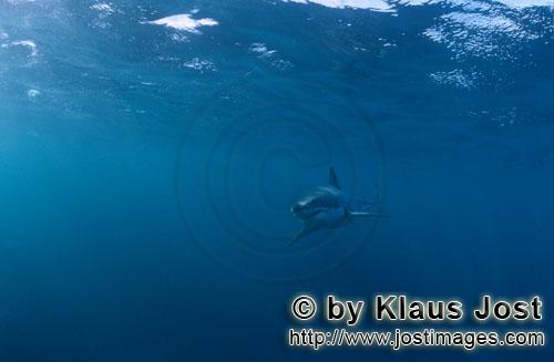 Great White shark/Carcharodon carcharias        Baby Great White Shark in dangerous surroundings