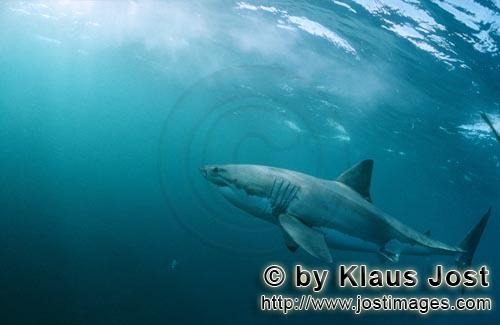 Great White shark/Carcharodon carcharias        Great White Shark - successful predator         A <b