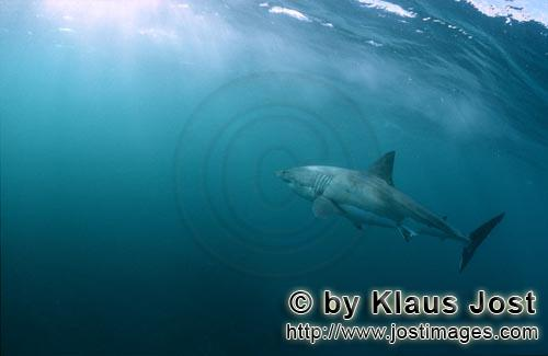 Weißer Hai/Great White Shark/Carcharodon carcharias        Great White Shark swimming towards the l