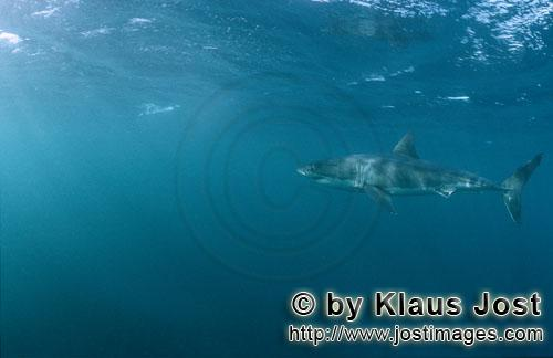 Weißer Hai/Great White shark/Carcharodon carcharias        Great White shark (Carcharodon carcharia