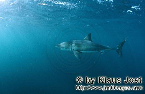 Weißer Hai/Great White shark/Carcharodon carcharias        Great White Shark near the seal conoly o