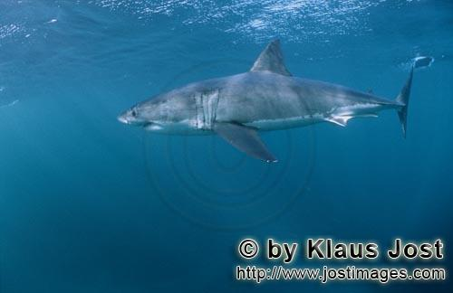 Weißer Hai/Great White shark/Carcharodon carcharias        An impressive Great White Shark gliding