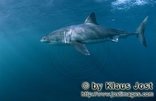 Great White shark/Carcharodon carcharias        Great White Shark – one of the sea's most impres