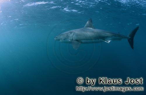 Great White shark/Carcharodon carcharias        Great White Shark - a very efficient predator
