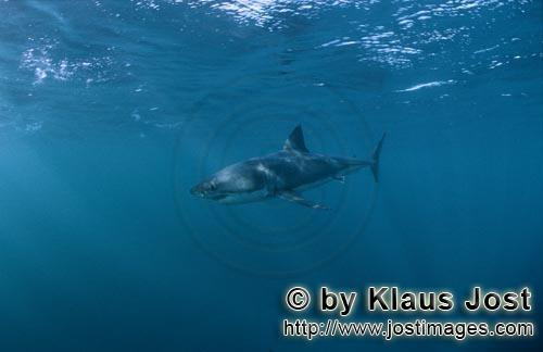 Weißer Hai/Great White shark/Carcharodon carcharias        Great White Shark - a beautiful animal a