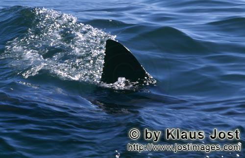 Weißer Hai/Great White shark/Carcharodon carcharias        Dorsal fin of the Great White Shark - un