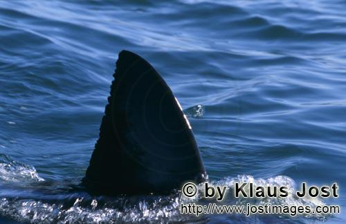 Weißer Hai/Great White shark/Carcharodon carcharias        Dorsal fin of the Great White Shark off