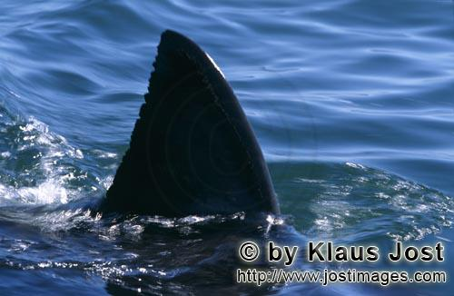 Weißer Hai/Great White shark/Carcharodon carcharias        Iimpressive: The dorsal fin of the great