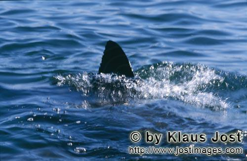 Weißer Hai/Great White shark/Carcharodon carcharias        Dorsal fin of Great White Shark        S
