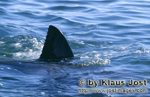 Weißer Hai/Great White shark/Carcharodon carcharias        Great White Shark Dorsal Fin on the wate