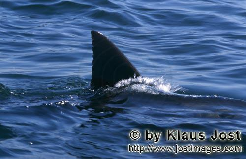 Weißer Hai/Great White shark/Carcharodon carcharias        Typical and unique: The dorsal fin of th