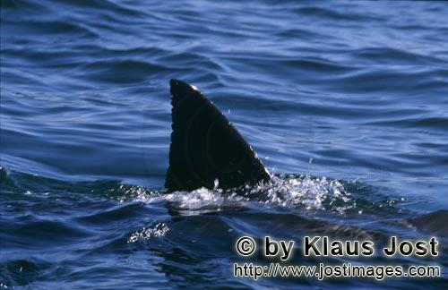 Weißer Hai/Great White shark/Carcharodon carcharias        Great White Shark dorsal fin near Seal I