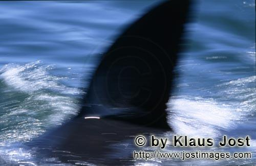 Weißer Hai/Great White shark/Carcharodon carcharias        The characteristic dorsal fin of great w