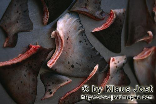 SharShark Finning/Hai Finning        Shark Finning        Cutting the fins off from the body