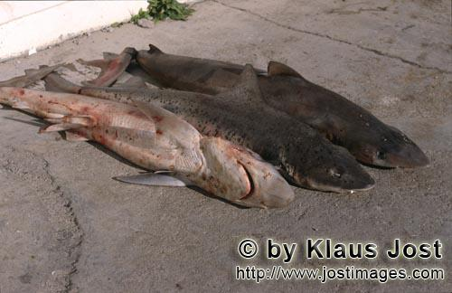 Shark Finning/Hai Finning        Shark Finning    Cutting the fins off from the body of the