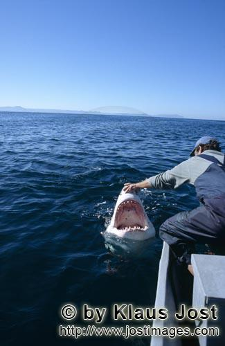Weißer Hai/Great White Shark/Carcharodon carchariasAndre Hartman touches the snout of the Great White Shark Once, as Andre Hartman anchored near Dyer Island and Geyser Rock, a Greate White Shark came right up to the boat. It was not interested in the fish bait, however, but wanted to bite the outboard. Andre Hartman touched him on the nose and tried carefully to push him back. Then, he made a remarkable discovery: the Greate White Shark came further out of the water, pulled back its head and opened its mouth. As if in slow motion, it paused for a moment, only to return to its element. By chance, Andre Hartman had discovered how the Greate White Shark reacts when it is touched in this sensitive area. Of course, the film crew, photographers and tourists were highly impressed. And, of course, the other shark tour operators imitated him straight away. These days, these open-mouth moves have been banned – and quite rightly. The Greate White Shark is not familiar with this sort of thing in nature. It is being paraded; essentially, it is a circus trick.