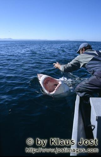 Weißer Hai/Great White Shark/Carcharodon carcharias        Communication between Andre Hartman and
