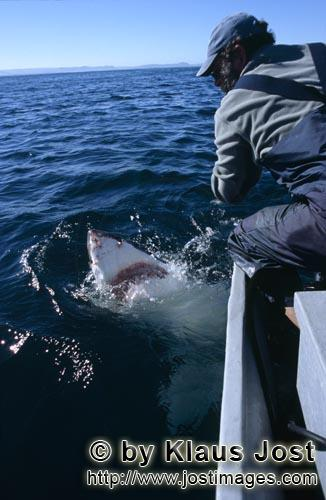 Great White Shark/Carcharodon carcharias        Great White Shark looking at Andre Hartman