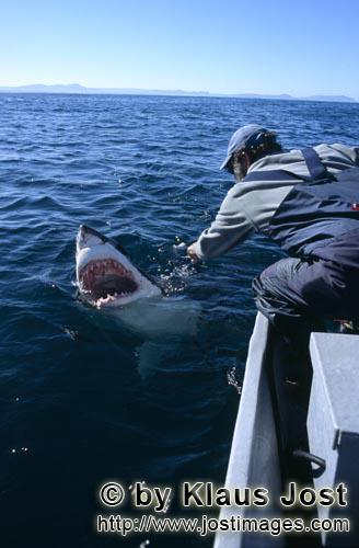 Great White Shark/Carcharodon carcharias        Andre Hartman looking into the mouth of the Great Wh