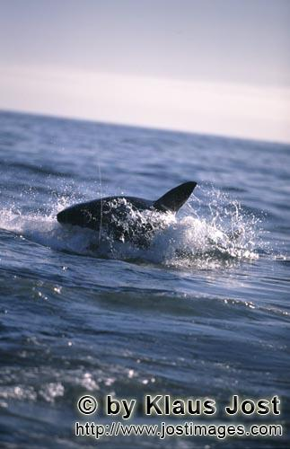 Weißer Hai/Great White shark/Carcharodon carcharias        Breaching Great White shark hunting for