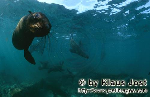 South African fur seal/Arctocephalus pusillus        South African Fur Seal approaching underwater</