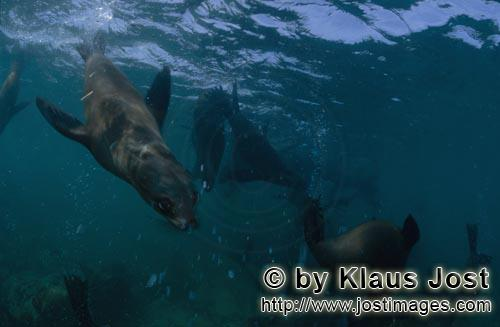 South African fur seal/Arctocephalus pusillus        Curious South African fur seal underwater