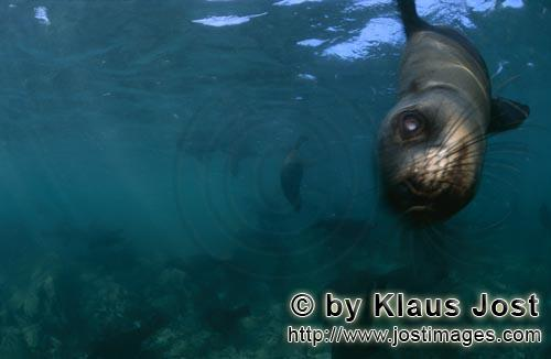 South African fur seal/Arctocephalus pusillus        South African fur seal swims to me         On
