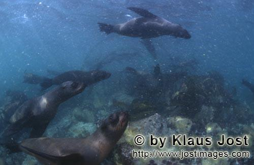Suedafrikanische Pelzrobbe/South African fur seal/Arctocephalus pusillus        Fur Seals in heavy