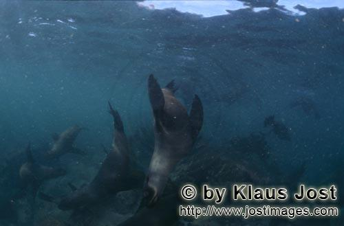 Suedafrikanische Pelzrobbe/South African fur seal/Arctocephalus pusillus    	    Fur seals in the su