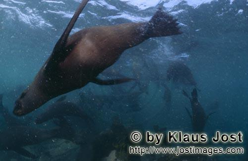 South African fur seal/Arctocephalus pusillus        South African Fur Seal quite close         On
