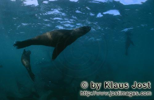Suedafrikanische Pelzrobbe/South African fur seal/Arctocephalus pusillusSouth African Fur Seal On the rocky island called Geyser Rock, in the immediate vicinity of Dyer Island, lives a seal colony of approximately 60,000 animals. As long as the South African Fur Seals (Arctocephalus pusillus) stay ashore and in the shallow water in the immediate vicinity of the island there is no danger for them. But if they start for their fishing hauls on the open sea  they dive 40 to 50 metres deep and are able to stay under water for up to five minutes  while swimming out and at their return, they have to cross a dangerous area which is tough for them. White Sharks lurk here. Seals are especially valuable for them. The danger is not over until the seals are back ashore. The high concentration of Great White Sharks is due to the seal colony.