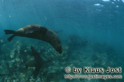 Suedafrikanische Pelzrobbe/South African fur seal/Arctocephalus pusillus        Fur seals are elegan