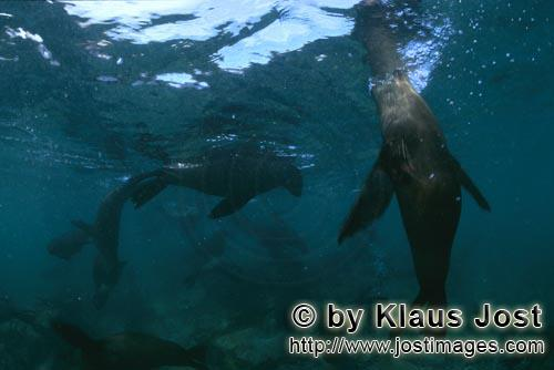 Suedafrikanische Pelzrobbe/South African fur seal/Arctocephalus pusillus        Fur seals just below