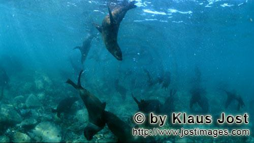 Suedafrikanische Pelzrobbe/South African fur seal/Arctocephalus pusillusAction in the realm of fur seals On the rocky island called Geyser Rock, in the immediate vicinity of Dyer Island, lives a seal colony of approximately 60,000 animals. As long as the South African Fur Seals (Arctocephalus pusillus) stay ashore and in the shallow water in the immediate vicinity of the island there is no danger for them. But if they start for their fishing hauls on the open sea  they dive 40 to 50 metres deep and are able to stay under water for up to five minutes  while swimming out and at their return, they have to cross a dangerous area which is tough for them. White Sharks lurk here. Seals are especially valuable for them. The danger is not over until the seals are back ashore. The high concentration of Great White Sharks is due to the seal colony.