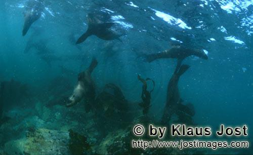 Suedafrikanische Pelzrobbe/South African fur seal/Arctocephalus pusillus        Seals in the surf</b
