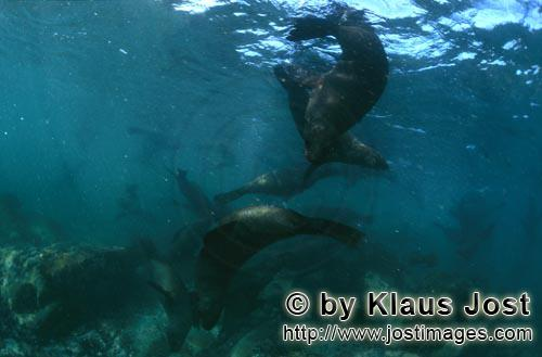 Suedafrikanische Pelzrobbe/South African fur seal/Arctocephalus pusillusSouth African Fur Seals over rocky terrain On the rocky island called Geyser Rock, in the immediate vicinity of Dyer Island, lives a seal colony of approximately 60,000 animals. As long as the South African Fur Seals (Arctocephalus pusillus) stay ashore and in the shallow water in the immediate vicinity of the island there is no danger for them. But if they start for their fishing hauls on the open sea – they dive 40 to 50 metres deep and are able to stay under water for up to five minutes – while swimming out and at their return, they have to cross a dangerous area which is tough for them. White Sharks lurk here. Seals are especially valuable for them. The danger is not over until the seals are back ashore. The high concentration of Great White Sharks is due to the seal colony.