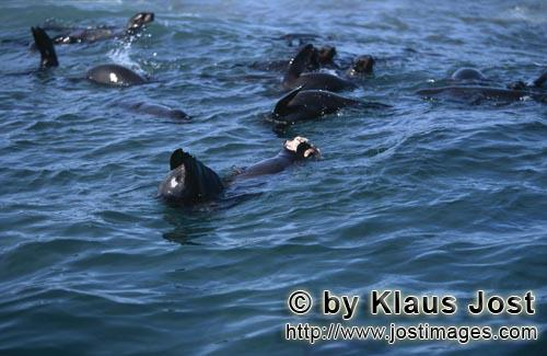 Suedafrikanische Pelzrobbe/South African fur seal/Arctocephalus pusillus        A Great White Shark