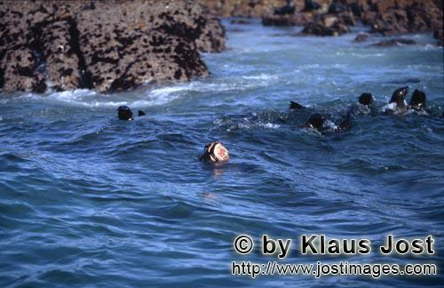 Suedafrikanische Pelzrobbe/South African fur seal/Arctocephalus pusillusA Great White Shark attacked this South African Fur Seal On the rocky island called Geyser Rock, in the immediate vicinity of Dyer Island, lives a seal colony of approximately 60,000 animals. As long as the South African Fur Seals (Arctocephalus pusillus) stay ashore and in the shallow water in the immediate vicinity of the island there is no danger for them. But if they start for their fishing hauls on the open sea – they dive 40 to 50 metres deep and are able to stay under water for up to five minutes – while swimming out and at their return, they have to cross a dangerous area which is tough for them. White Sharks lurk here. Seals are especially valuable for them. The danger is not over until the seals are back ashore. The high concentration of Great White Sharks is due to the seal colony.