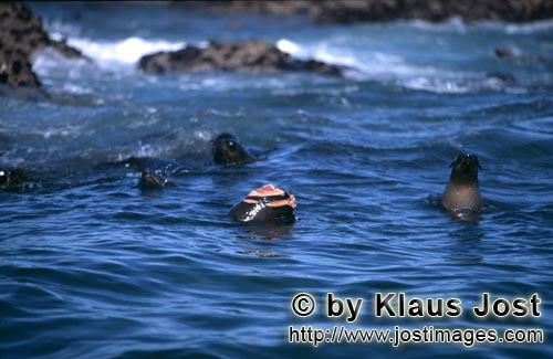 South African fur seal/Arctocephalus pusillus        A Great White Shark attacked this South African