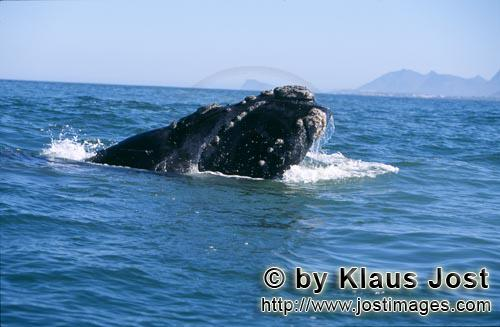 Southern Right Whale/Eubalaena australis        Southern Right Whale breaks through the water surfa