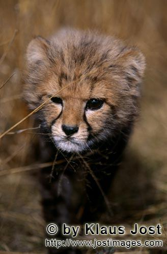 Cheetah/Acinonyx jubatus        Expressive Baby Cheetah eye         captive