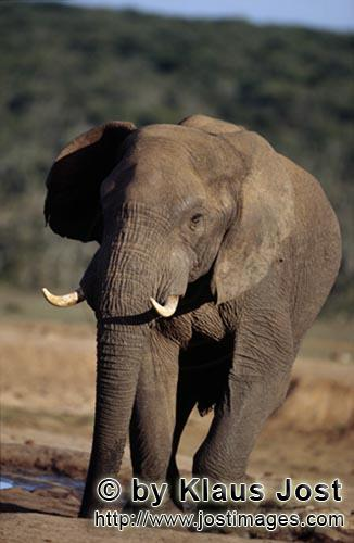 African Elephant/Afrikanischer Elefant/Loxodonta africana        Elephant Bull at the waterhole