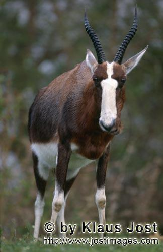 Bontebok/Pied buck/Buntbock/Damaliscus dorcas        The Bontebok {Damaliscus Dorcas}        In the