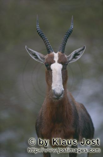 Bontebok/Pied buck/Buntbock/Damaliscus dorcasThe Bontebok {Damaliscus Dorcas}In the Buntebok National Park in South Africa, I met this young impressive Pied Buck in the early morning. In 1926, Pied Bucks were almost extinct. Less than 30 animals had survived. Protection measures have saved these beautiful antelopes, but they are still threatened by extinction. Pied Bucks live in small prides in the open grass savannah as well as in tree or bush savannahs.