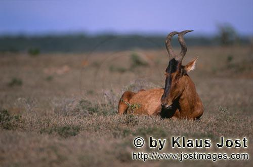 Red Hartebest/Rote Kuhantilope/Alcelaphus buselaphus        Red Hartebest (Alcelaphus buselaphus)</b