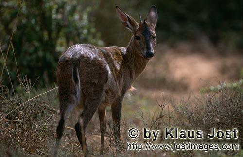 Kap-Greisbock/Cape grysbok/Raphicerus melanotis        Cape grysbok in the early morning light