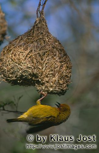 Cape Weaver/Ploceus capensis        Cape Weaver is busy at the nest