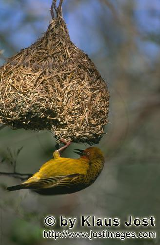 Cape Weaver/Ploceus capensis        Cape Weaver with his finished nest